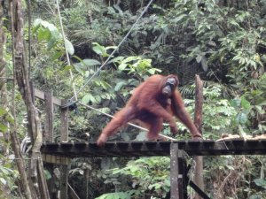 Orangutan about to take banana on wooden platform